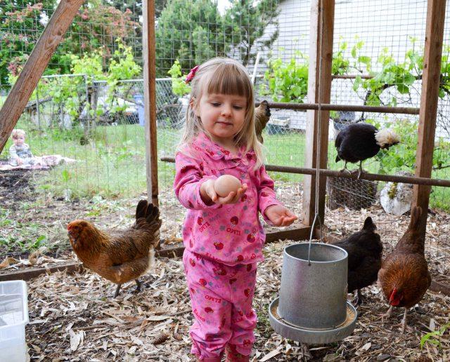 Chickens-2