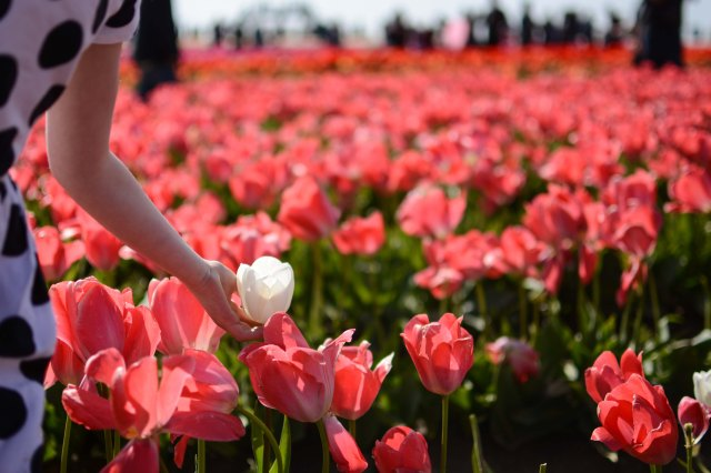 Tulips 2017-3